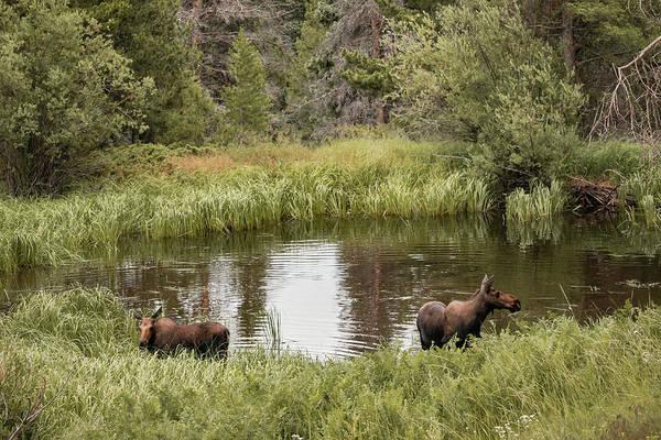 Photograph - Rocky Mountain Wildlife - Cow Moose - Colorado Wildlife by Gregory Ballos