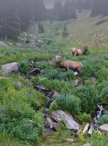 Photograph - Rocky Mountain Elk by Charles Owens
