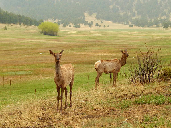 Photograph - Rocky Mountain Elk by Dan Miller