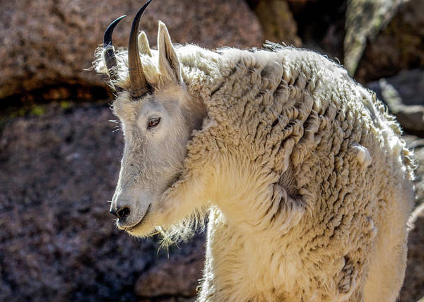 Wall Art - Photograph - Mountain Goat by Dawn Key