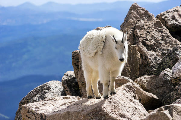 Photograph - Rocky Mountain Goat No. 1 by Lynn Palmer