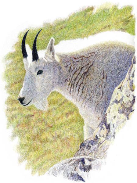 Drawing - Rocky Mountain Goat Portrait by Dan Miller