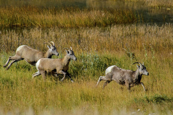 Photograph - Rocky Mountain Goats 7410 by Donald Brown