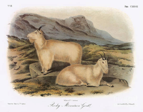 Photograph - Rocky Mountain Goats by Granger