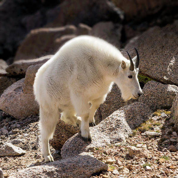 Photograph - Rocky Mountain Goats No. 2 by Lynn Palmer