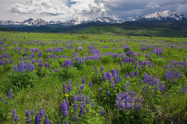Photograph - Rocky Mountain Lupine Landscape by Aaron Spong