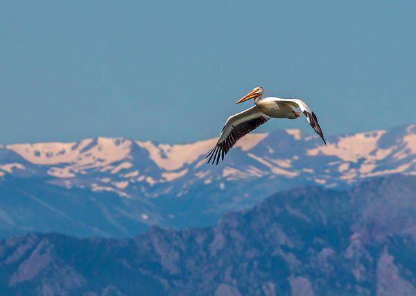 Wall Art - Photograph - Rocky Mountain Pelican by Dawn Key