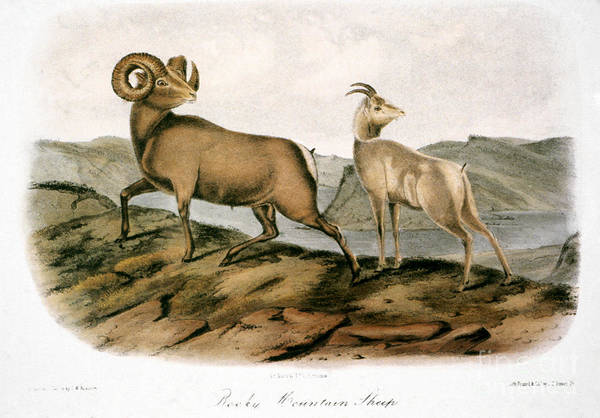 Audubon Wall Art - Photograph - Rocky Mountain Sheep, 1846 by Granger