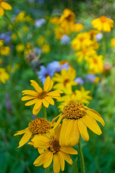 Photograph - Rocky Mountain Wildflowers by Cascade Colors