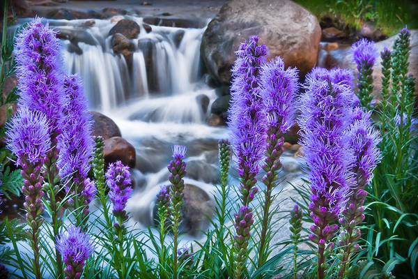Photograph - Rocky Mountain Wildflowers by James Woody