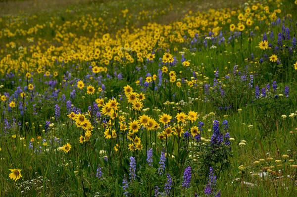 Photograph - Rocky Mountain Wildflowers by Tranquil Light  Photography