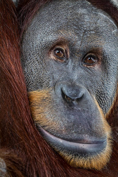 Photograph - Rocky The Orangutan by Ron Pate