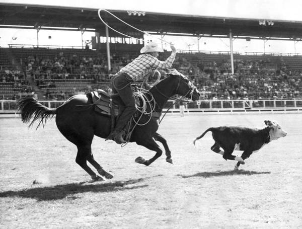 Wall Art - Photograph - Rodeo Calf Roping Contest by Underwood Archives