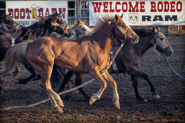 Pferd Photograph - Rodeo Horses by Caitlyn Grasso
