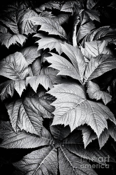 Bronze Leaf Wall Art - Photograph - Rodgersia Podophylla by Tim Gainey