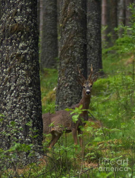 Photograph - Roe Buck In Spring  by Phil Banks