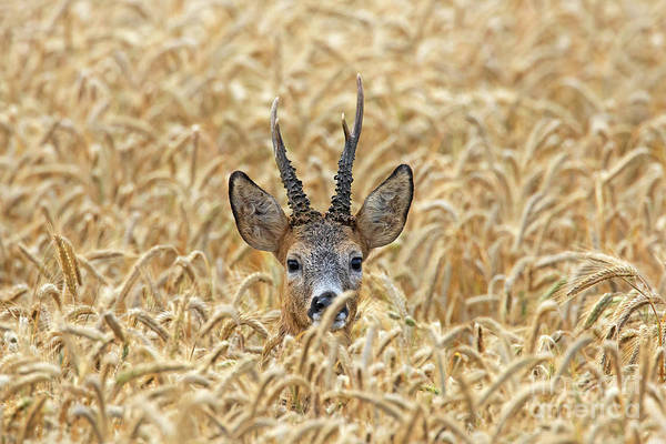Photograph - Roe Deer by Arterra Picture Library