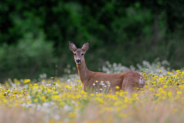 Photograph - Roe Deer Doe by Arterra Picture Library