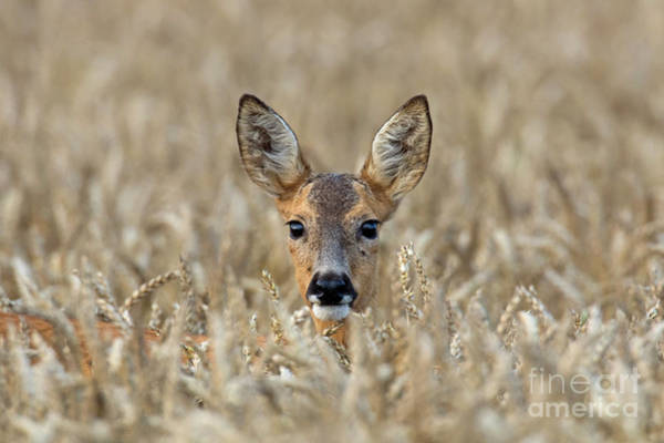 Photograph - Roe Deer In Wheat Field by Arterra Picture Library