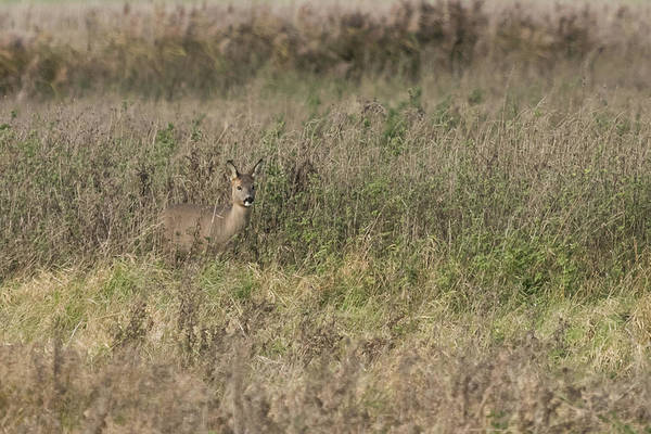 Photograph - Roe Deer by Wendy Cooper
