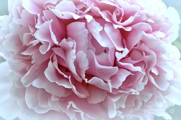 Photograph - Romantic Pink Peony by Carol Groenen