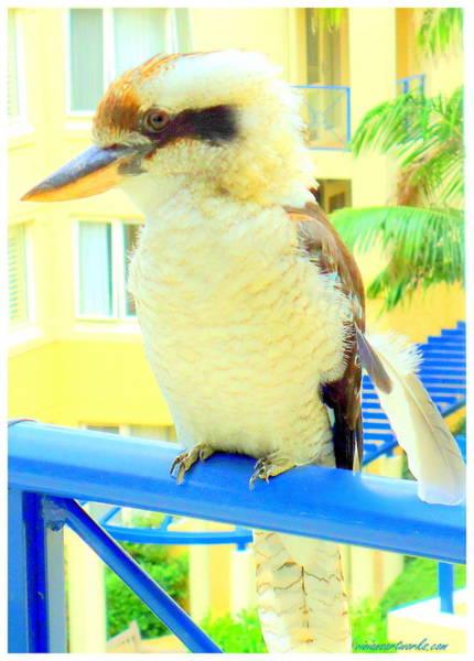 Photograph - Romeo The Kookaburra by VIVA Anderson