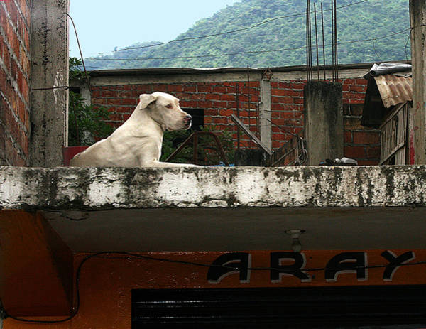 Photograph - Rooftop Dog, South America by Karen Zuk Rosenblatt