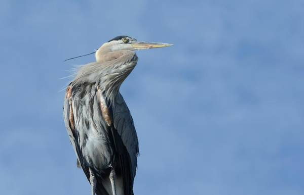Photograph - Rooftop Heron by Fraida Gutovich