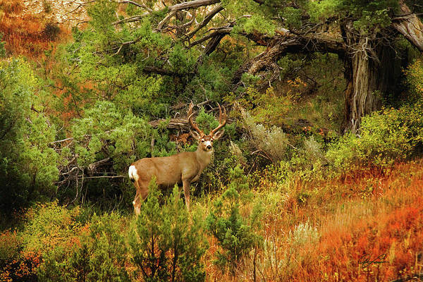 Photograph - Roosevelt Deer by Ann Lauwers