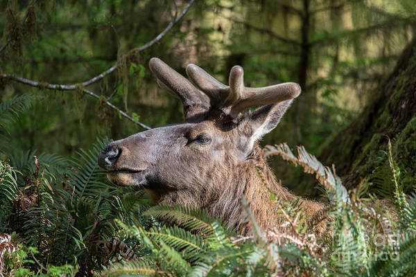 Roosevelt National Forest Photograph - Roosevelt Elk Closeup In The Hoh Rainforest In Washington by Brandon Alms