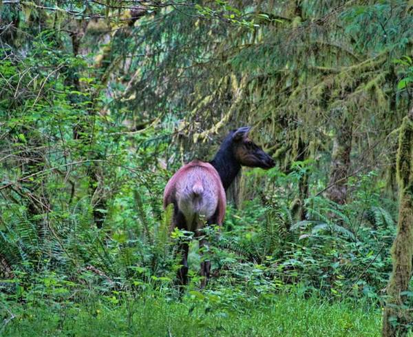 Roosevelt National Forest Photograph - Roosevelt Elk In The Hoh Rainforest by Dan Sproul