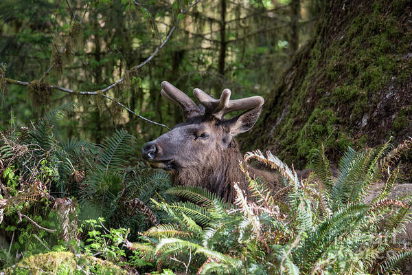 Roosevelt National Forest Photograph - Roosevelt Elk In The Hoh Rainforest In Olympic National Park by Brandon Alms