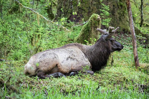 Roosevelt National Forest Photograph - Roosevelt Elk Resting In The Hoh Rainforest by Brandon Alms