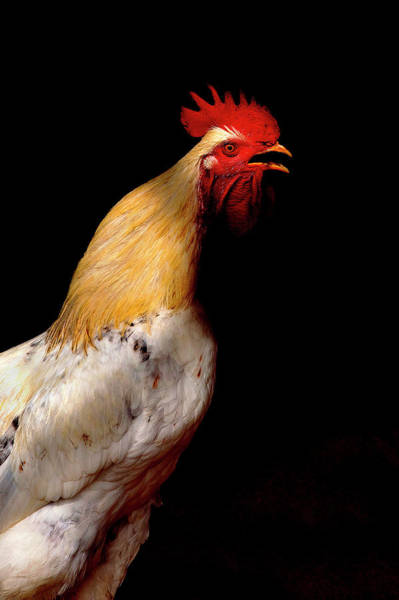 Moberly Photograph - Rooster by Guy Moberly