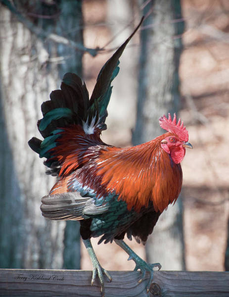 Photograph - Rooster Red by Terry Kirkland Cook