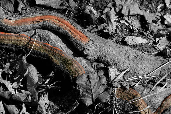 Photograph - Root Veins by Dylan Punke