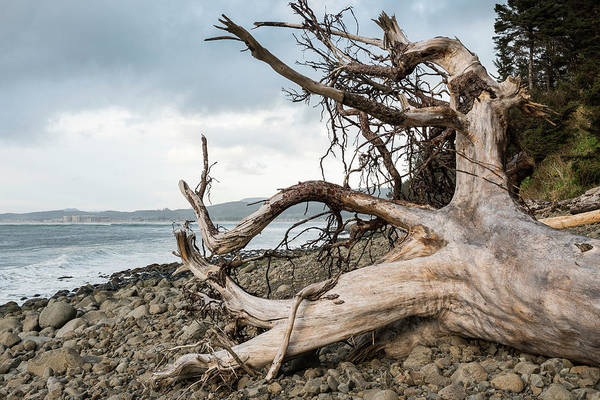 Photograph - Root Wad Seaside Cove by Robert Potts