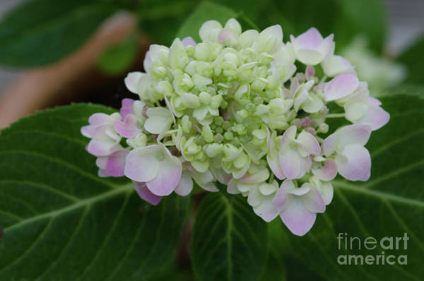 Photograph - Rooted Hydrangea by Dale Powell