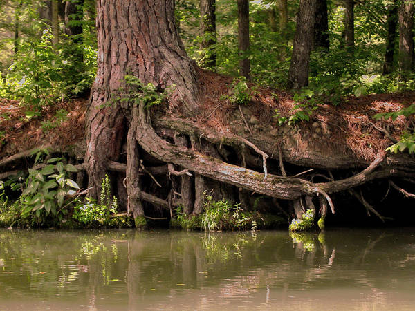 Photograph - Roots by Anne Cameron Cutri