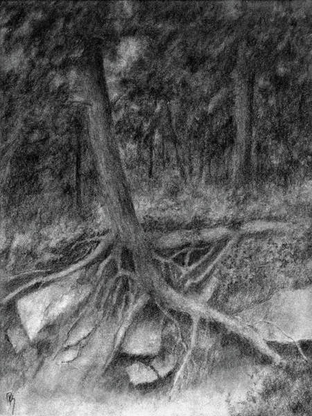 Evergreen Trees Drawing - Roots II by David King