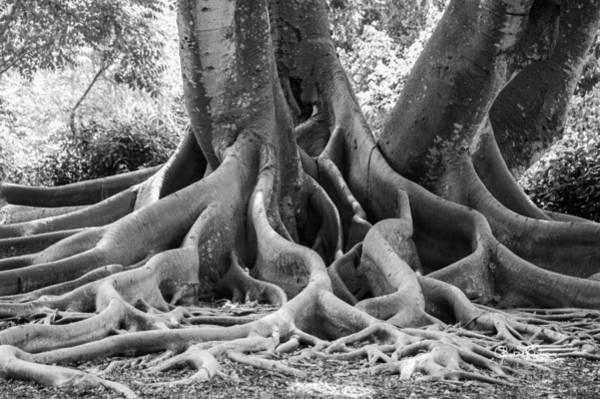Photograph - Roots Ten by Susan Molnar