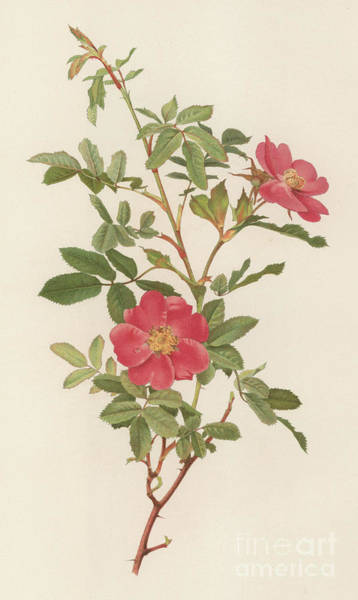 Wall Art - Painting - Rosa Acicularis Var Nipponensis by English School