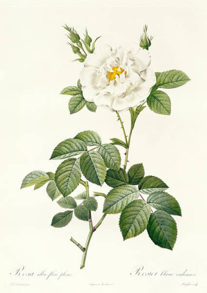 Botanical Garden Wall Art - Drawing - Rosa Alba Flore Pleno by Pierre Joseph Redoute