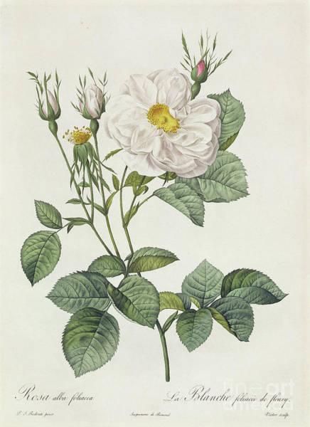 Stalk Wall Art - Drawing - Rosa Alba Foliacea by Pierre Joseph Redoute