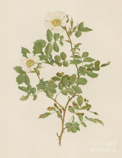 Wall Art - Painting - Rosa Beggeriana by English School