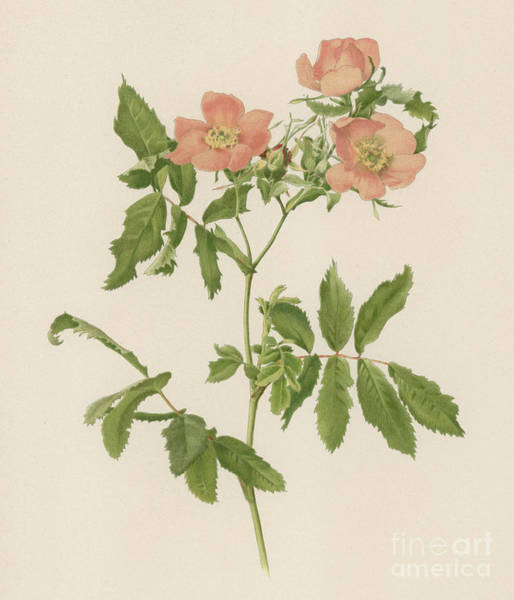 Wall Art - Painting - Rosa Blanda by English School