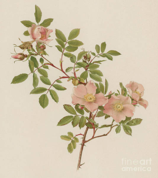 Wall Art - Painting - Rosa Blanda Var Willmottiana by English School