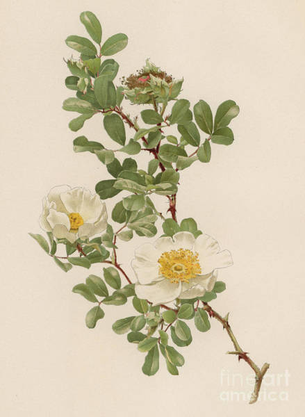 Wall Art - Painting - Rosa Bracteata The Macartney Rose by English School