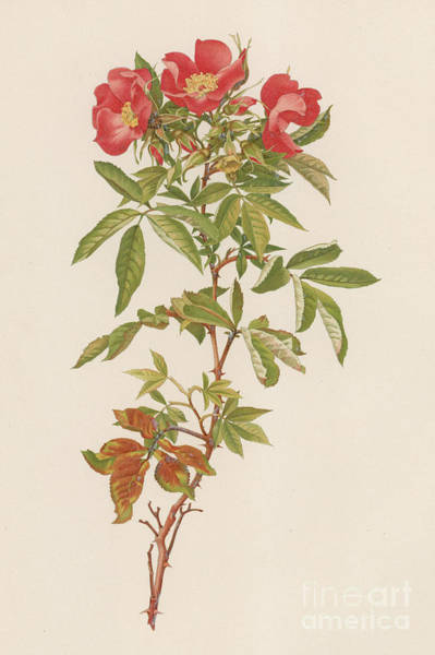 Wall Art - Painting - Rosa Carolina by English School