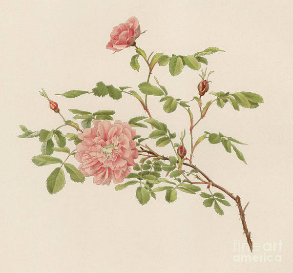 Wall Art - Painting - Rosa Cinnamomea by English School